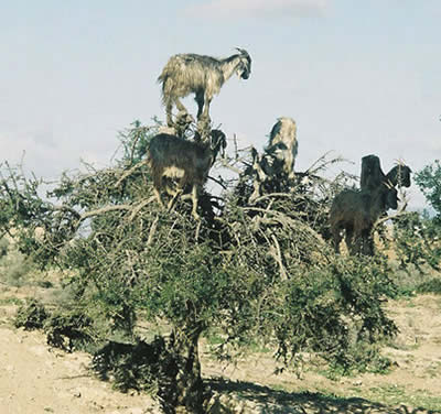 a126_goat2